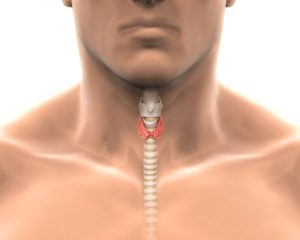 thyroid gland displayed within the neck in its vicinity to trachea